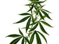 Medizinisches Cannabis: Hilfe – Wirksamkeit – Wundermittel?